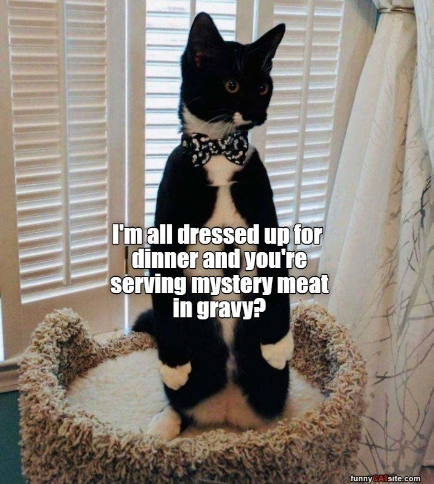 Cat - I'mall dressed up for dinner and you're serving mystery meat in gravy? funnyCATsite.com