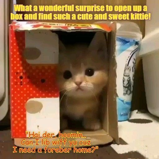"""Cat - What a wonderful surprise to open up a box and find such a cute and Sweet kittie! """"Hai der hoomin. Can I lib wiff yu cuz I need a foreber home?"""""""