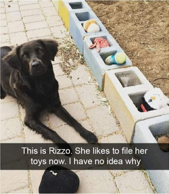 Dog - This is Rizzo. She likes to file her toys now. I have no idea why