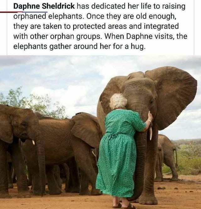 Elephant - Daphne Sheldrick has dedicated her life to raising orphaned elephants. Once they are old enough, they are taken to protected areas and integrated with other orphan groups. When Daphne visits, the elephants gather around her for a hug.