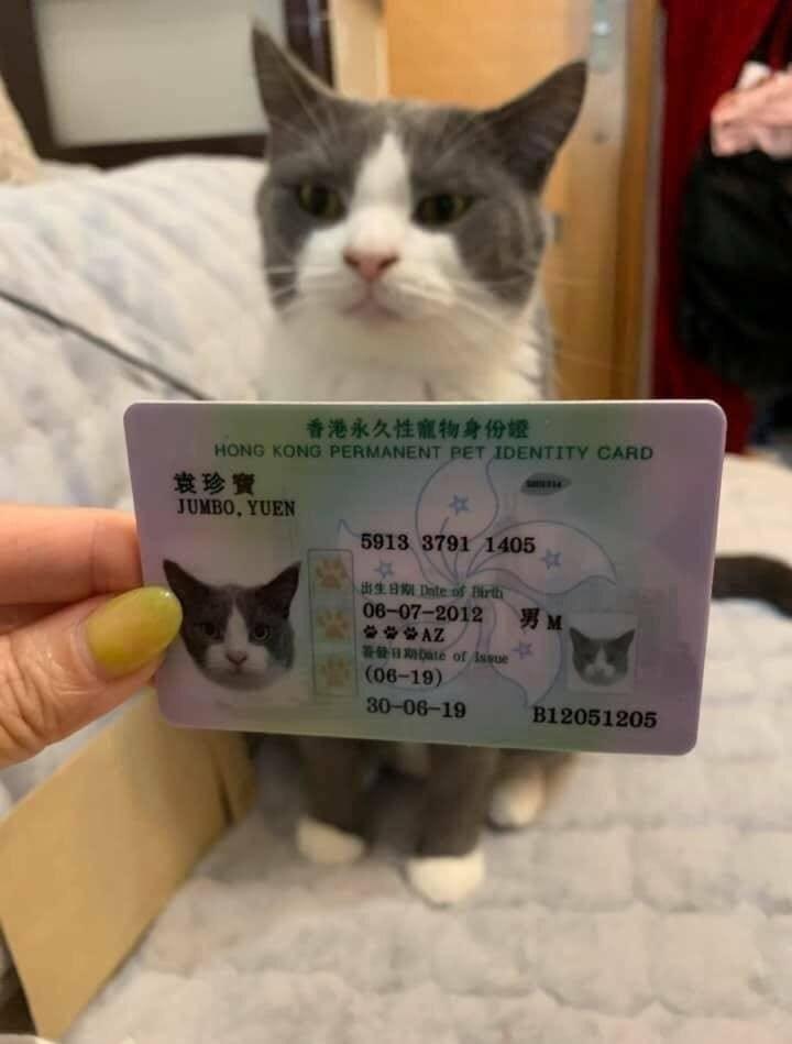Cat - 香港永久性寵物身份證 HONG KONG PERMANENT PET IDENTITY CARD 发珍寶 JUMBO, YUEN 5913 3791 1405 23 sB Date of Birth 06-07-2012 ** AZ T2: te of Issue (06-19) 男M 30-06-19 B12051205