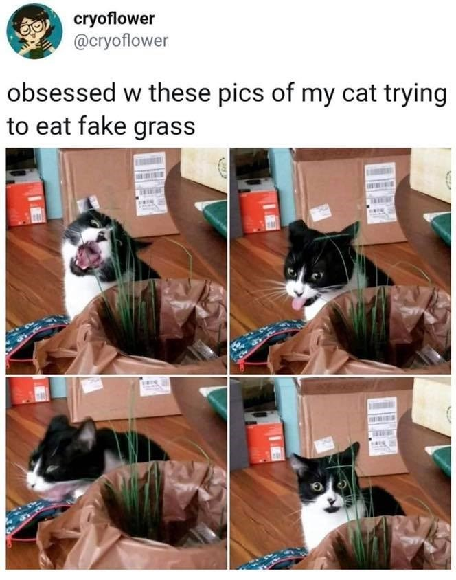 Cat - cryoflower @cryoflower obsessed w these pics of my cat trying to eat fake grass NESA