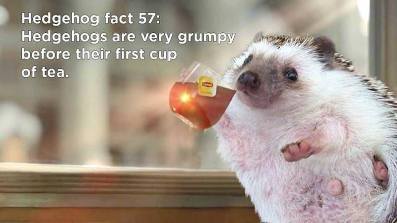 Hedgehog - Hedgehog fact 57: Hedgehogs are very grumpy before their first cup of tea.