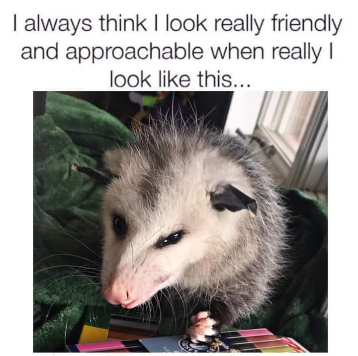 Common opossum - I always think I look really friendly and approachable when really I look like this...