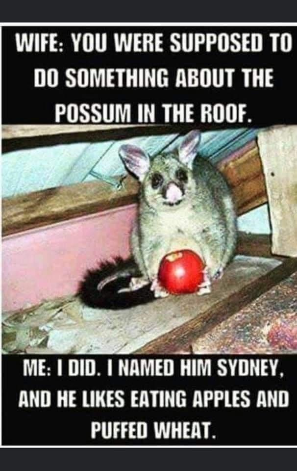 Photo caption - WIFE: YOU WERE SUPPOSED TO DO SOMETHING ABOUT THE POSSUM IN THE ROOF. ME: I DID. I NAMED HIM SYDNEY, AND HE LIKES EATING APPLES AND PUFFED WHEAT.