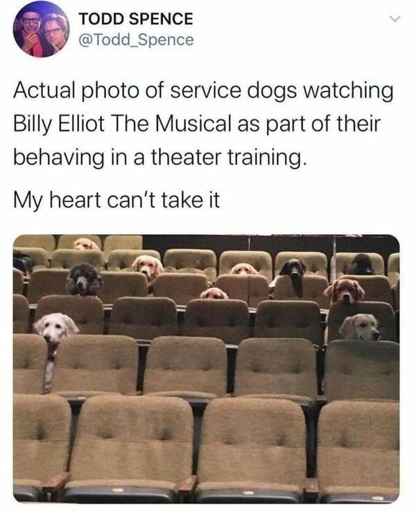 Text - TODD SPENCE @Todd Spence Actual photo of service dogs watching Billy Elliot The Musical as part of their behaving in a theater training. My heart can't take it