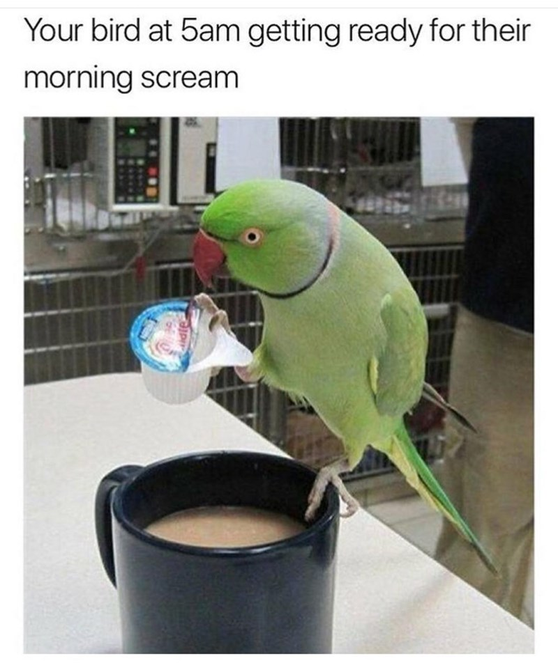 Parakeet - Your bird at 5am getting ready for their morning scream