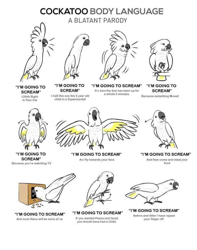 """Text - COCKATOO BODY LANGUAGE A BLATANT PARODY """"I'M GOING TO I'M GOING TO SCREAM"""" """"I'M GOING TO """"I'M GOING TO SCREAM"""" SCREAM"""" SCREAM"""" It's 5am the Sun has been up for a whole 5 minutes. I Call this one the 5 year old child in a Supermarket Because something Moved 120db Right in Your Ear """"I'M GOING To """"I'M GOING TO SCREAM"""" """"I'M GOING TO SCREAM"""" SCREAM"""" As I fly towards your face And then come and steal your food Because you're watching TV """"I'M GOING TO SCREAM"""" """"I'M GOING TO SCREAM"""" """"I'M GOING TO"""