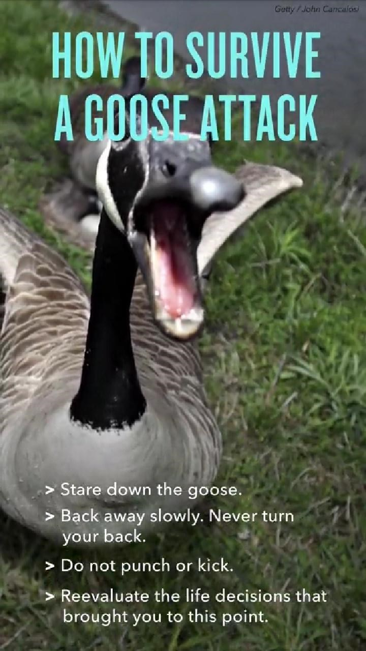 Bird - Getty / John Cancalosi HOW TO SURVIVE A GOOSE ATTACK > Stare down the goose. > Bạck away slowly. Never turn your back. > Do not punch or kick. > Reevaluate the life decisions that brought you to this point.