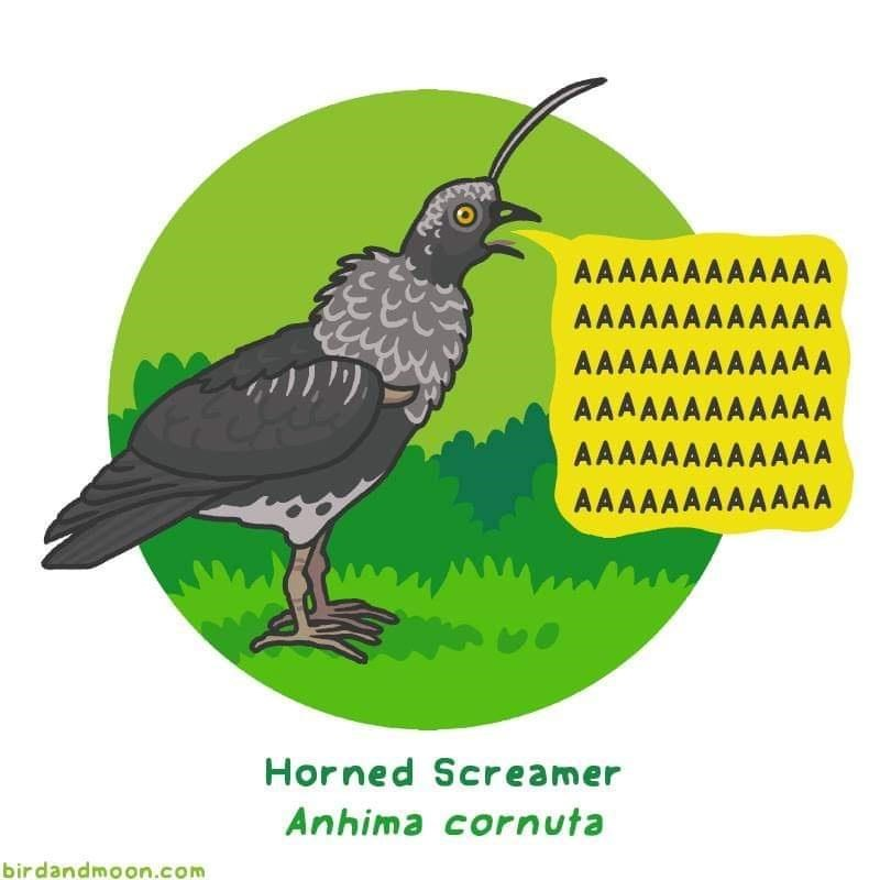 Bird - AAAAAAAAAAAA AAAAAAAAAAAA AAAAAAAAAAAA AAAAAAAAAAAA AAAAAAAAAAAA AAAAAAAAAAAA Horned Screamer Anhima cornuta birdandmoon.com