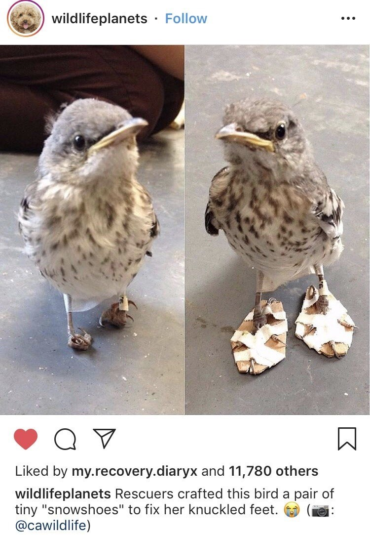 "wildlifeplanets Rescuers crafted this bird a pair of tiny ""snowshoes"" to fix her knuckled feet. @cawildlife tiny bird with its feet taped to pieces of cardboard to help straighten them"