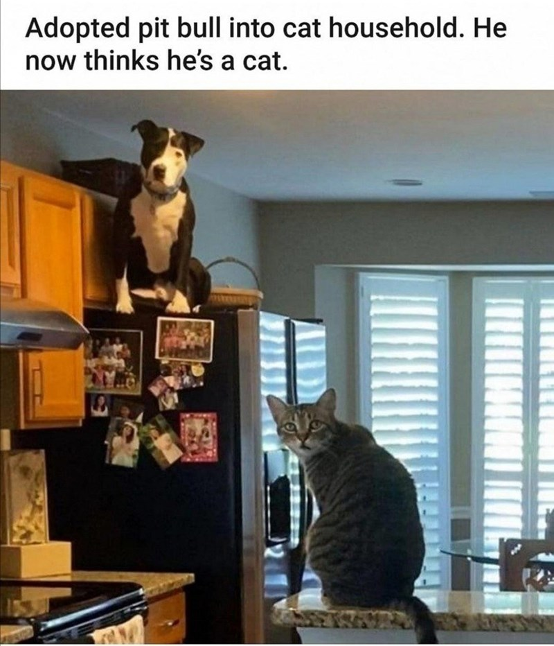 Cat - Adopted pit bull into cat household. He now thinks he's a cat.