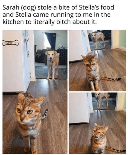 Cat - Sarah (dog) stole a bite of Stella's food and Stella came running to me in the kitchen to literally bitch about it. ADOPTH