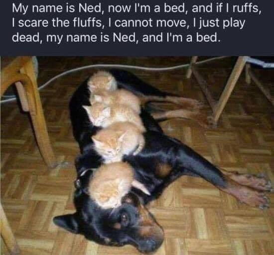 Dog breed - My name is Ned, now I'm a bed, and if I ruffs, I scare the fluffs, I cannot move, I just play dead, my name is Ned, and I'm a bed.
