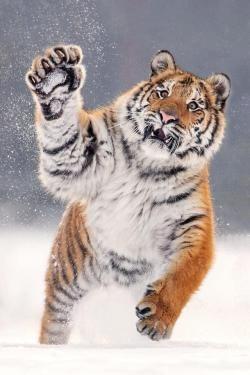 Tiger - ALD