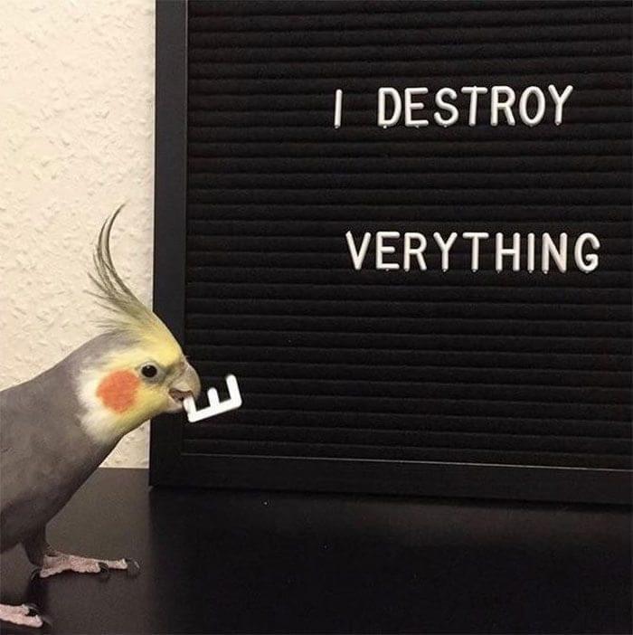 Cockatiel - | DESTROY VERYTHING