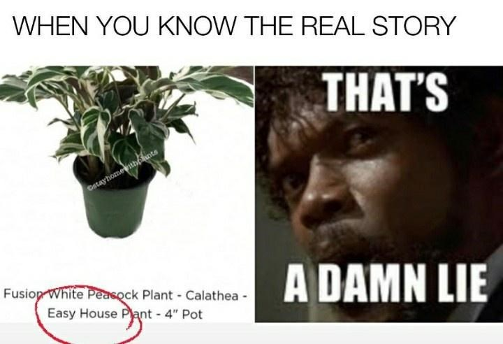 """Houseplant - WHEN YOU KNOW THE REAL STORY THAT'S Cstayhomewithelunts A DAMN LIE Fusiop White Peasock Plant - Calathea - Easy House Plant - 4"""" Pot"""