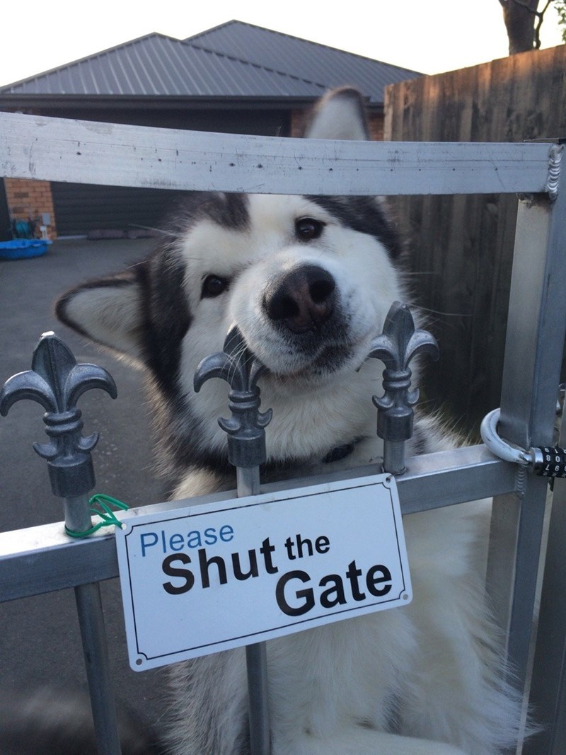 adorable husky dog looking through a gate above a sign please shut the gate
