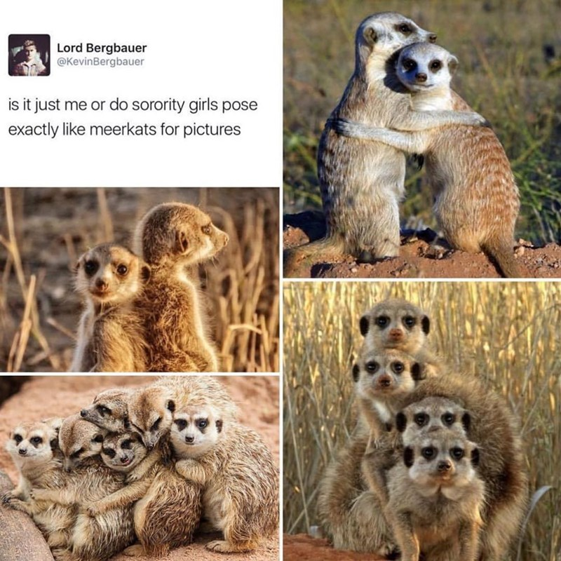 Lord Bergbauer @KevinBergbauer s it just me or do sorority girls pose exactly like meerkats for pictures cute funny pics of meerkats