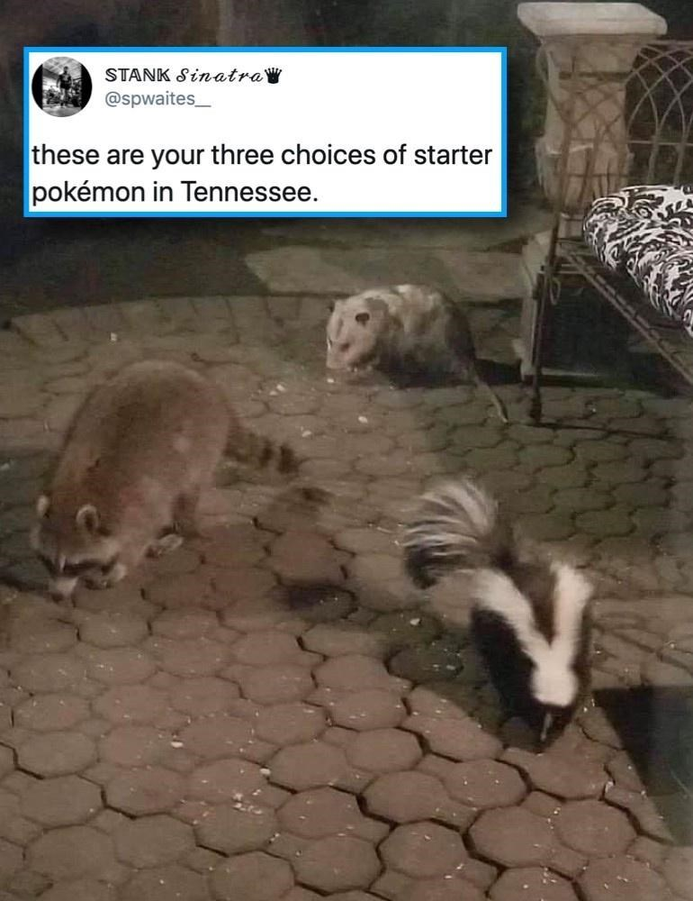 Badger - STANK SinatraW @spwaites_ these are your three choices of starter pokémon in Tennessee.