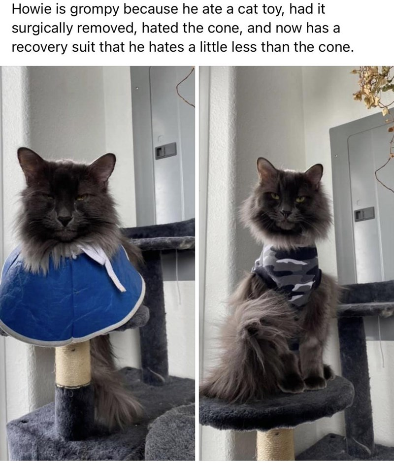 Cat - Howie is grompy because he ate a cat toy, had it surgically removed, hated the cone, and now has a recovery suit that he hates a little less than the cone.