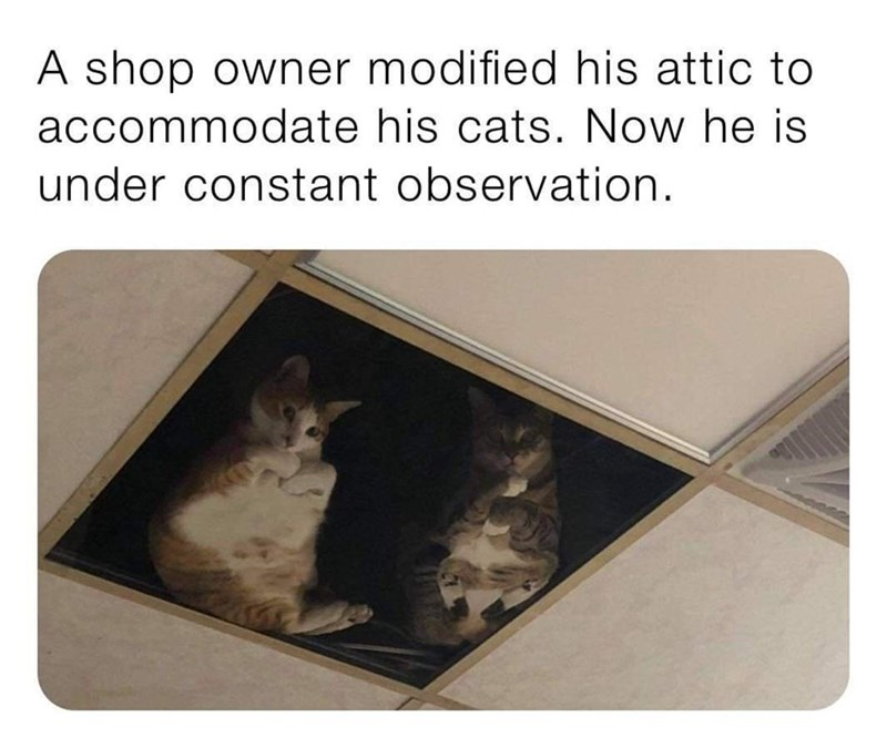 Cat - A shop owner modified his attic to accommodate his cats. Now he is under constant observation.