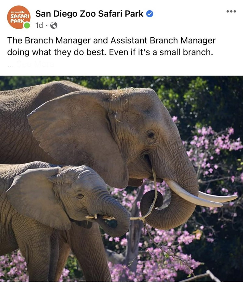 Elephant - San Diego Zoo Safari Park SAN DIEGO 2 •.. SAFARI PARK 1d The Branch Manager and Assistant Branch Manager doing what they do best. Even if it's a small branch.