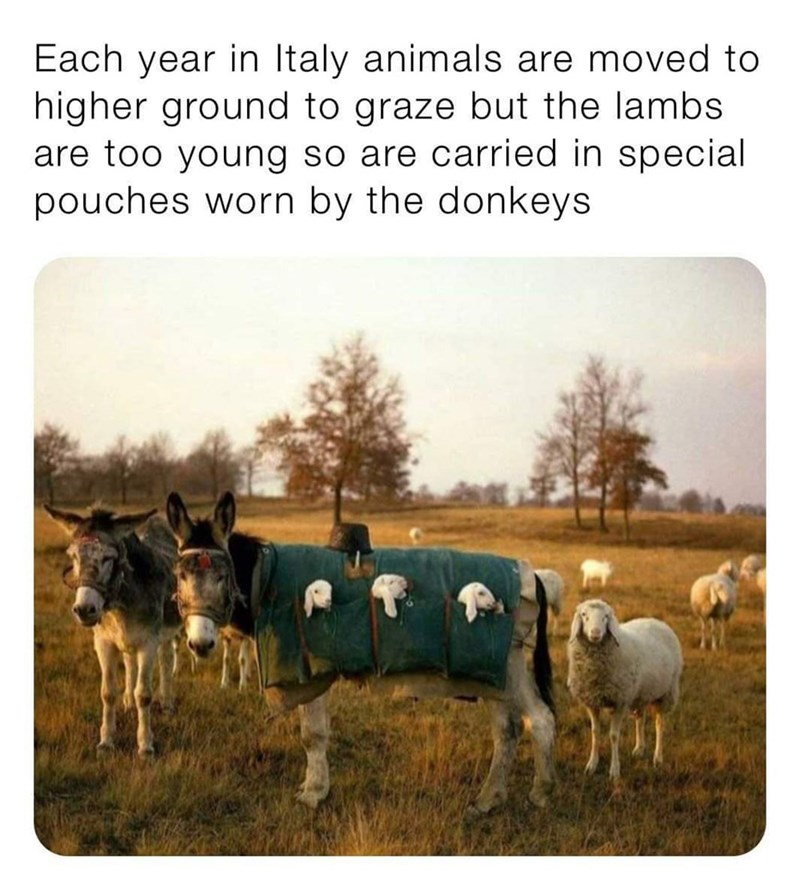 Herd - Each year in Italy animals are moved to higher ground to graze but the lambs are too young so are carried in special pouches worn by the donkeys