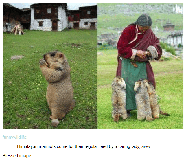 Himalayan marmots come for their regular feed by a caring lady, aww Blessed image. cute pics of a fluffy fuzzy mammal being fed by an older lady