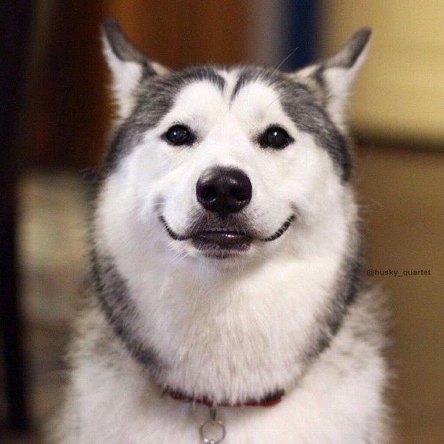 Dog - @husky_quartet