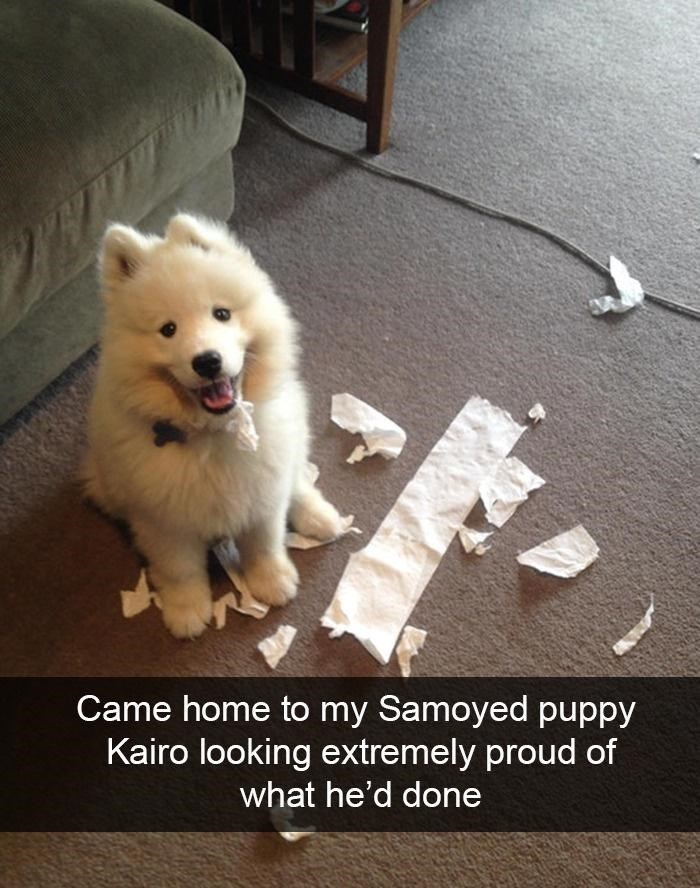 Dog - Came home to my Samoyed puppy Kairo looking extremely proud of what he'd done