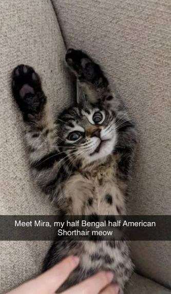 Cat - Meet Mira, my half Bengal half American Shorthair meow