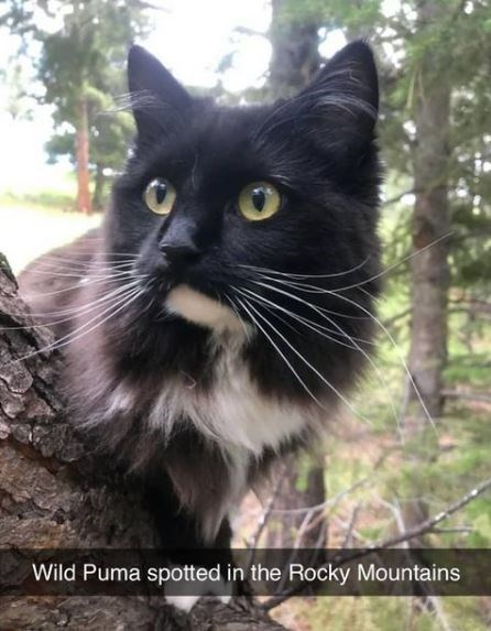 Cat - Wild Puma spotted in the Rocky Mountains