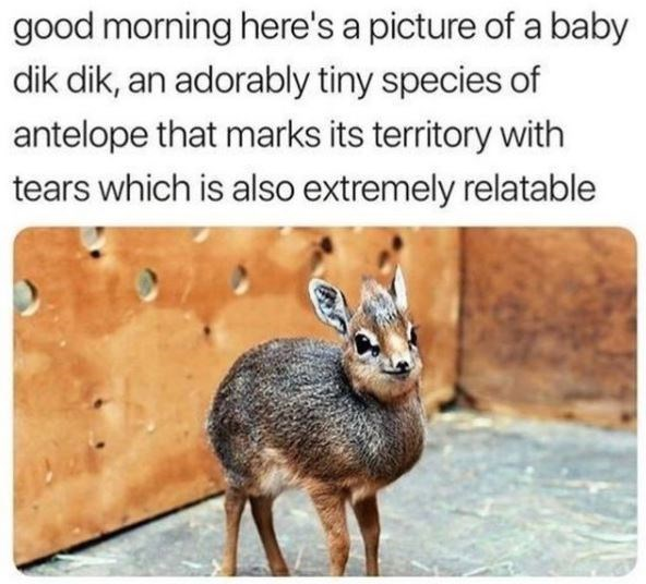 good morning here's a picture of a baby dik dik, an adorably tiny species of antelope that marks its territory with tears which is also extremely relatable