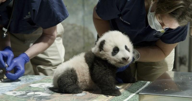 Panda - Smithe Rubhans