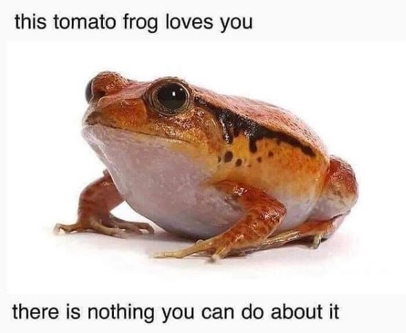 Frog - this tomato frog loves you there is nothing you can do about it