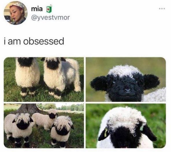 Sheep - mia 0 @yvestvmor ... i am obsessed