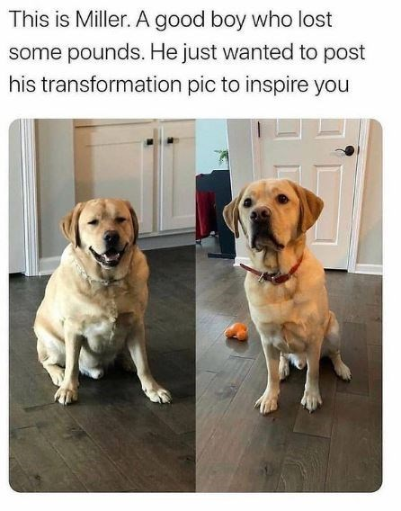 Dog - This is Miller. A good boy who lost some pounds. He just wanted to post his transformation pic to inspire you