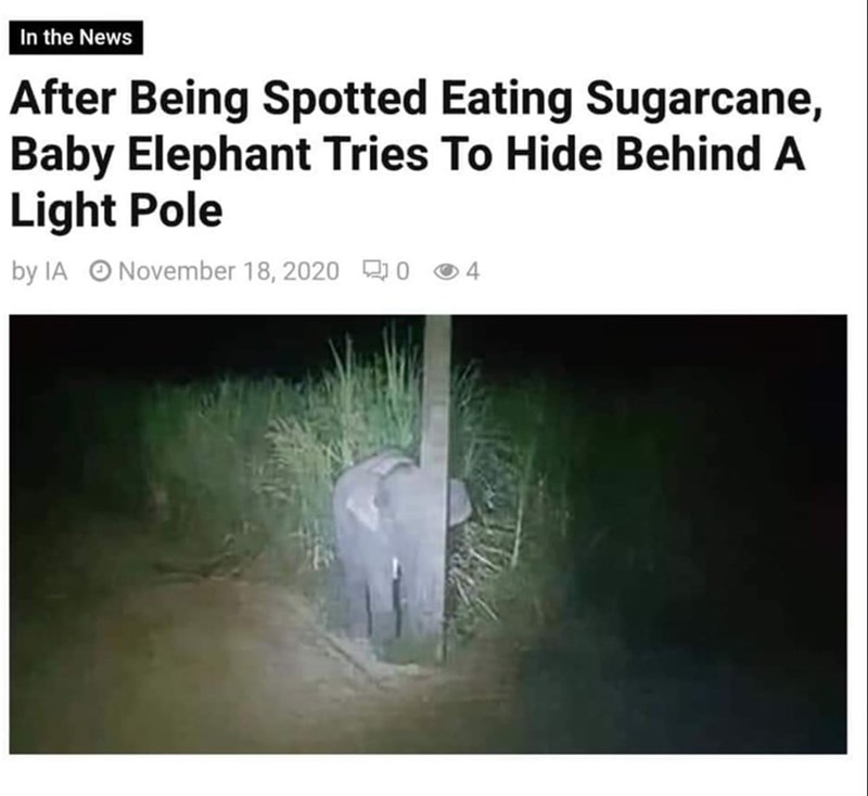 Text - In the News After Being Spotted Eating Sugarcane, Baby Elephant Tries To Hide Behind A Light Pole by IA O November 18, 2020 O