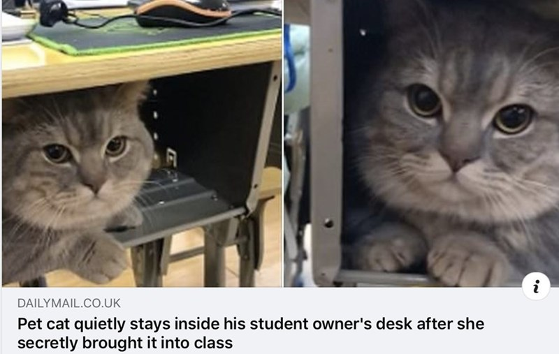 Cat - DAILYMAIL.CO.UK Pet cat quietly stays inside his student owner's desk after she secretly brought it into class