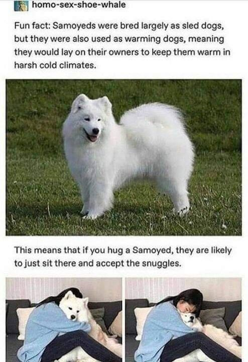 Fun fact: Samoyeds were bred largely as sled dogs, but they were also used as warming dogs, meaning they would lay on their owners to keep them warm in harsh cold climates. This means that if you hug a Samoyed, they are likely to just sit there and accept the snuggles.