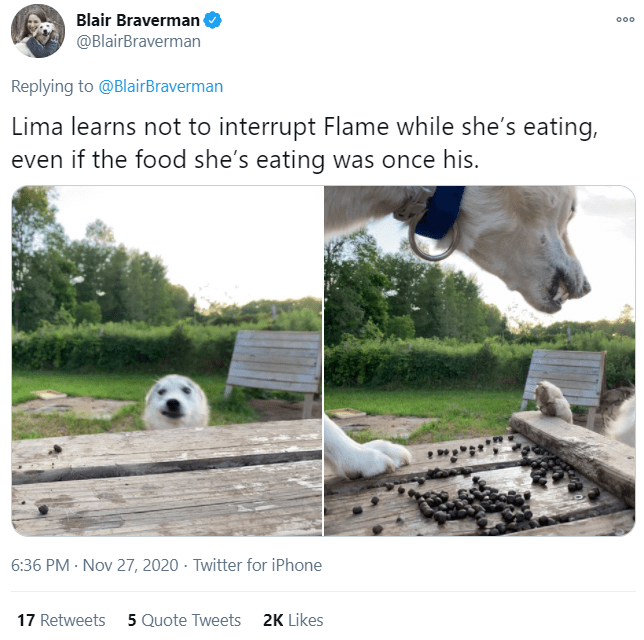 Adaptation - Blair Braverman @BlairBraverman 000 Replying to @BlairBraverman Lima learns not to interrupt Flame while she's eating, even if the food she's eating was once his. 6:36 PM · Nov 27, 2020 · Twitter for iPhone 17 Retweets 5 Quote Tweets 2K Likes