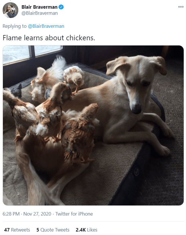 Canidae - Blair Braverman @BlairBraverman 000 Replying to @BlairBraverman Flame learns about chickens. 6:28 PM · Nov 27, 2020 · Twitter for iPhone 47 Retweets 5 Quote Tweets 2.4K Likes