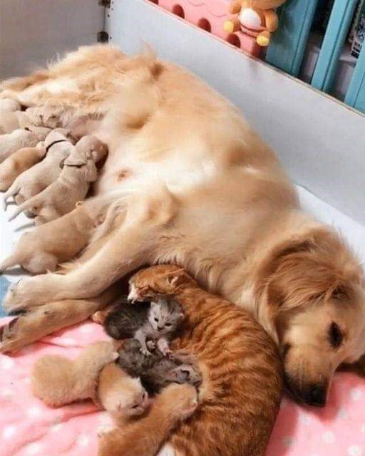 cute and wholesome pic of a mama dog and a mama cat curled next to each other nursing their babies puppies and kittens