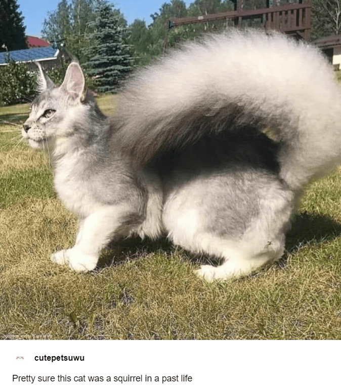 cutepetsuwu Pretty sure this cat was a squirrel in a past life | cute grey cat with a very long and fluffy tail that curls toward its back like a squirrel's
