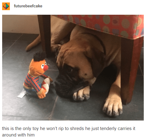 this is the only toy he won't rip to shreds he just tenderly carries it around with him | cute dog lying on the floor staring at a plushie toy of ernie from sesame street