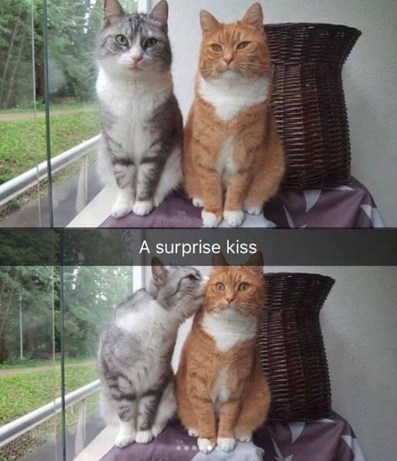 Surprise kiss | snapchat of two cats grey and orange with one unexpectedly kissing the face of the other