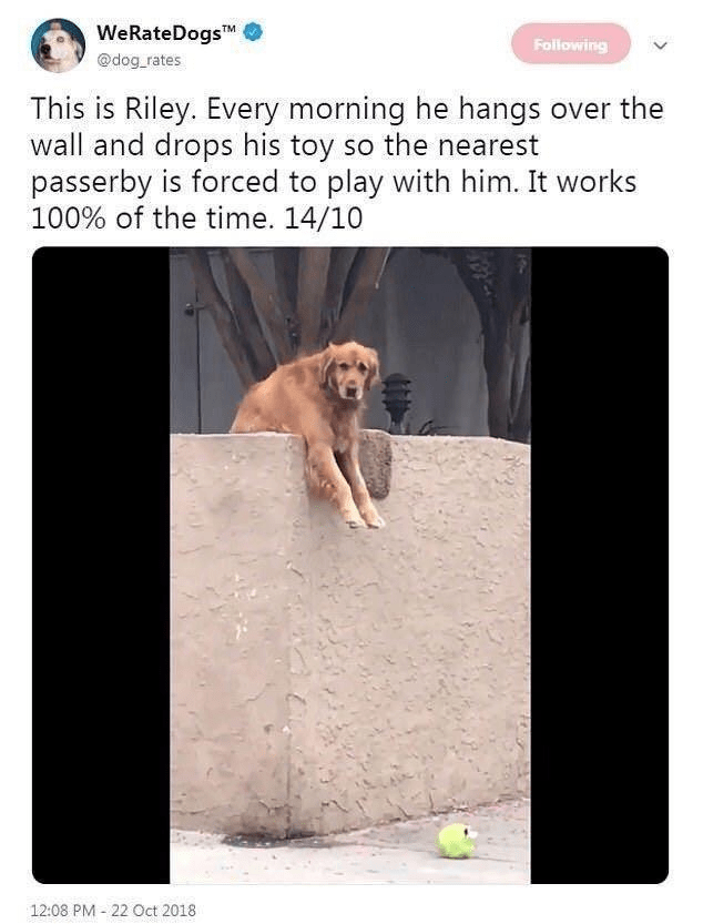 Text - WeRateDogsTM Following @dog_rates This is Riley. Every morning he hangs over the wall and drops his toy so the nearest passerby is forced to play with him. It works 100% of the time. 14/10 12:08 PM - 22 Oct 2018