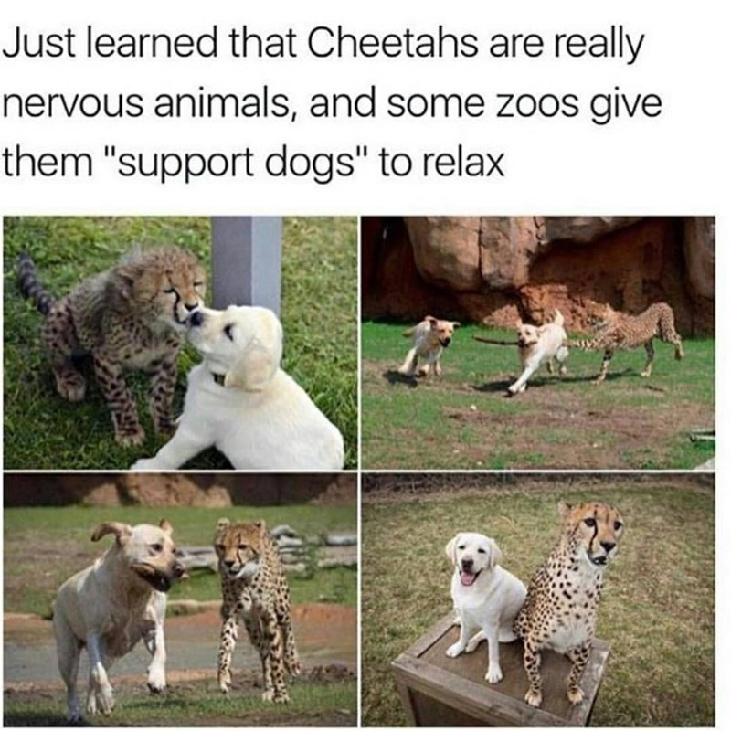 """Organism - Just learned that Cheetahs are really nervous animals, and some zoos give them """"support dogs"""" to relax"""