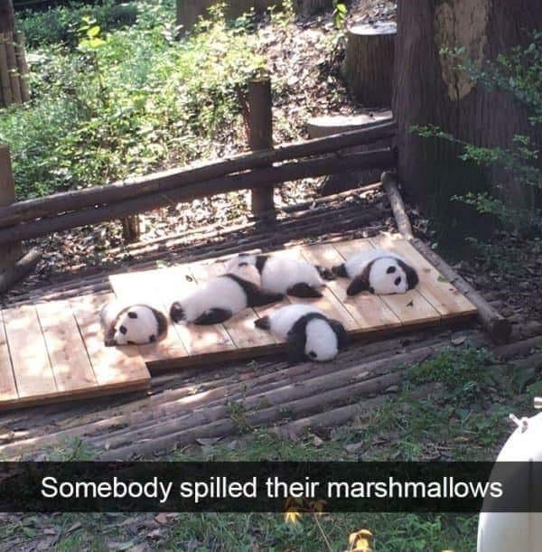 Panda - Somebody spilled their marshmallows